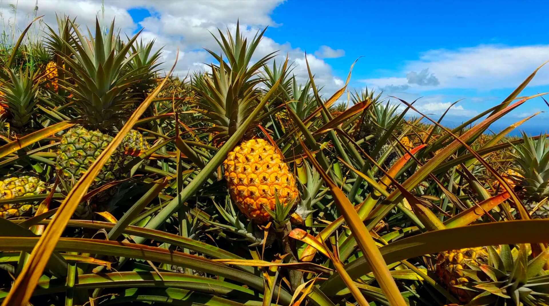 Maui Pineapple Farm
