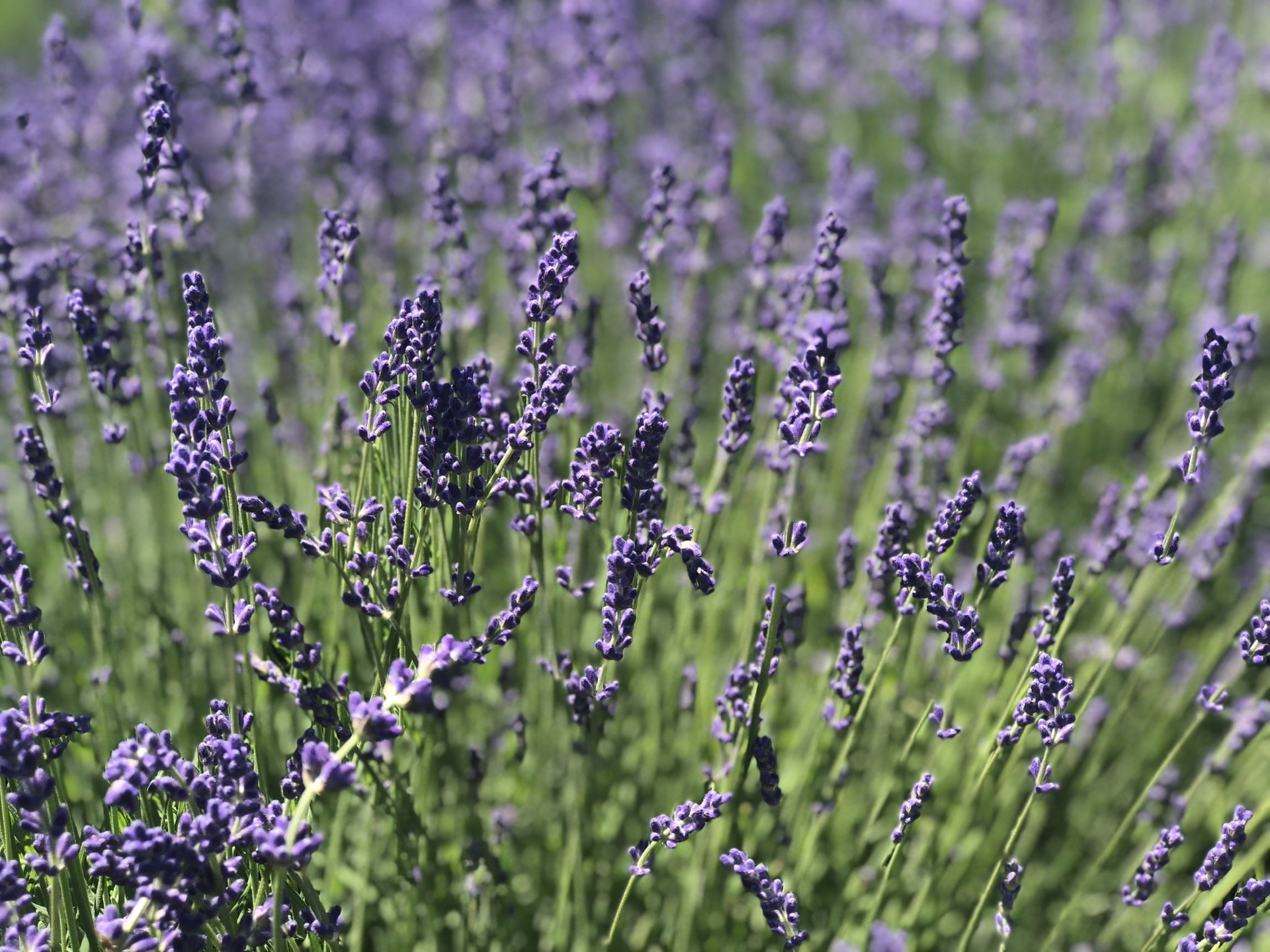 New York Lavender Fields