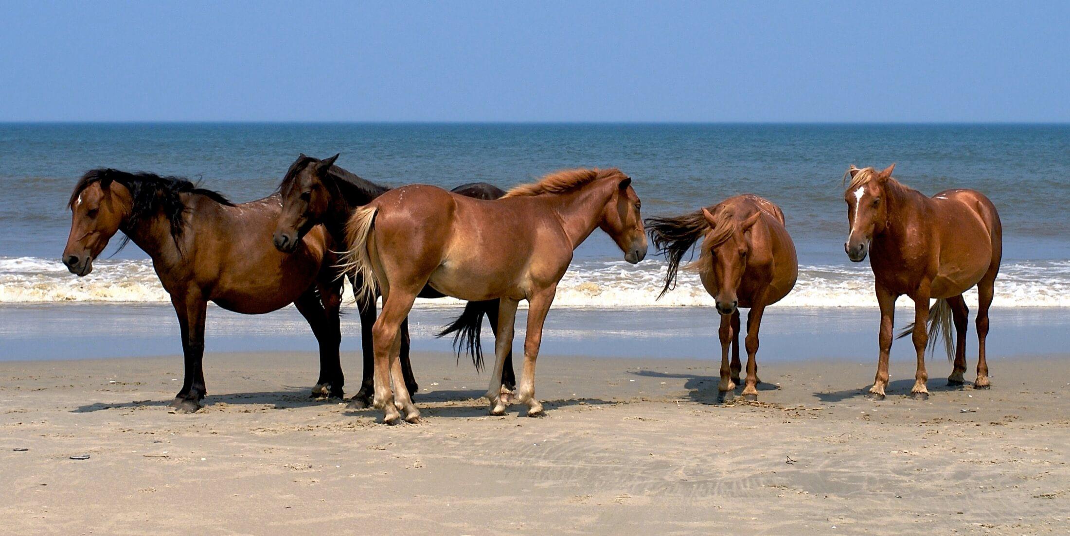 Wild Horses North Carolina, Carrot Island Horses